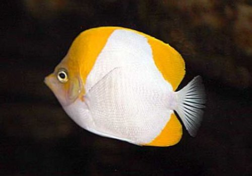 Гемитаурихт пирамидальный (Hemitaurichthys polylepis)