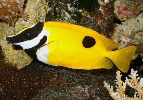 Лисица желтая M (Lo vulpinus)
