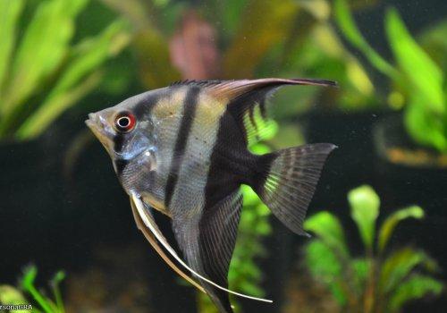 Скалярия биколор (Scalare bicolor)