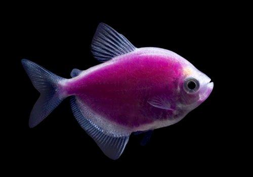 Тетра пурпурная (Purple Tetra GloFish)