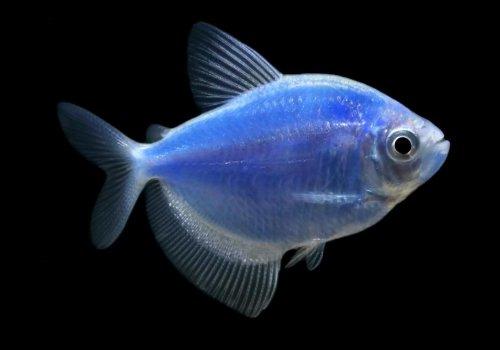 Тетра космик блю (Cosmic Blue Tetra GloFish)