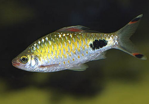 Барбус филаментозус (Barbus filamentosus)