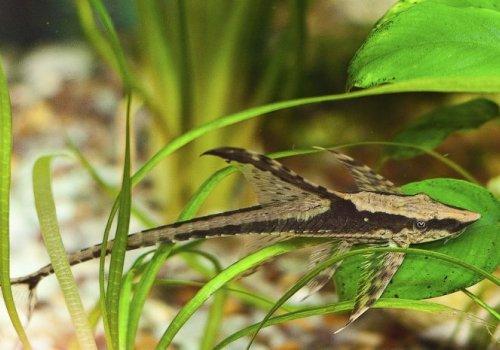 Стурисома панамская (Sturisoma panamense)